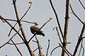 Paloma morada, Red-billed Pigeon, Patagioenas flavirostris (9337850353).jpg