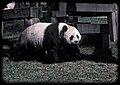 Panda Washington Zoo 2014.jpg