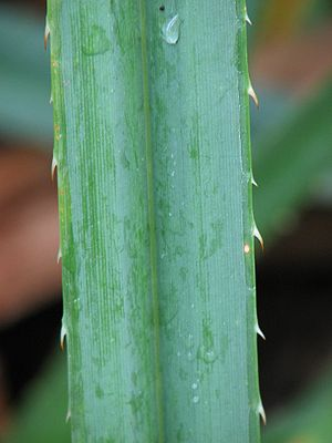 Closeup of Pandanus leaf showing thorns.