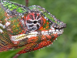 Panther Chameleon (Furcifer pardalis).jpg