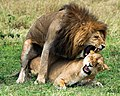 Panthera leo massaica mating.jpg