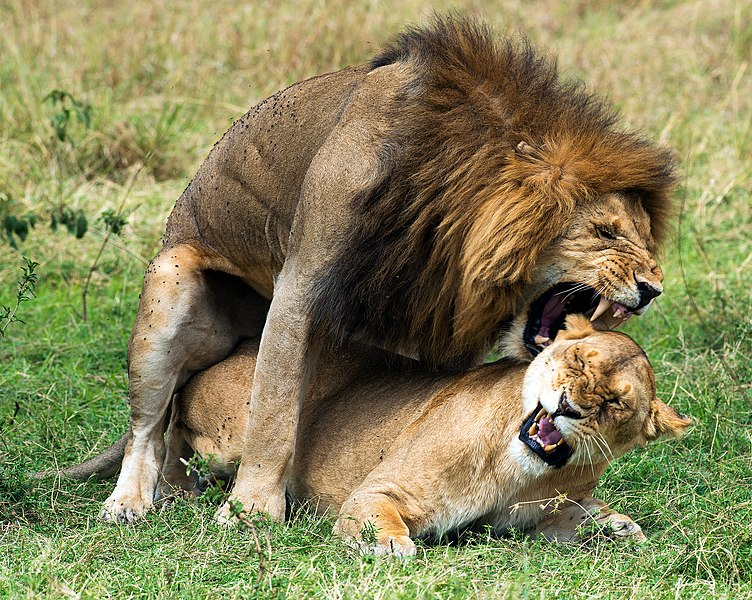 File:Panthera leo massaica mating.jpg