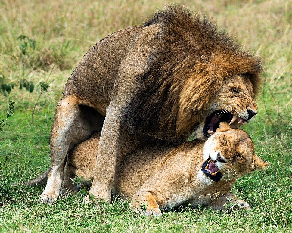 Panthera leo massaica mating