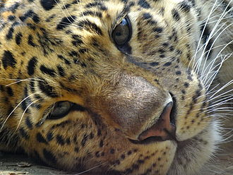 Agrate Conturbia - Amur leopard in Faunistic Park La Torbiera