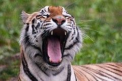 Panthera tigris -Franklin Park Zoo, Massachusetts, USA-8a (2)