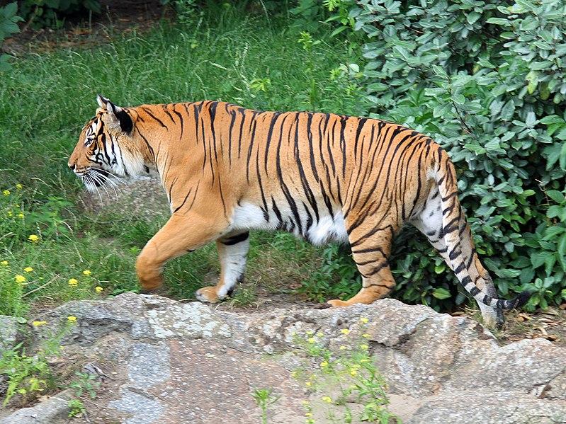 filepanthera tigris corbetti 01jpg wikimedia commons