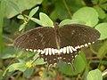 Papilio polytes (Common Mormon) from Chalavara.jpg