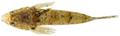 Paradiplogrammus bairdi - pone.0010676.g163.png