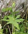 Paris tetraphylla (leaf n7).jpg