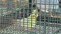 Parrot in a cage.jpg