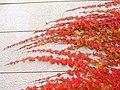 Parthenocissus tricuspidata IMG 4836.jpg