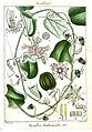 Passiflora leschenaultii Rungiah.jpg