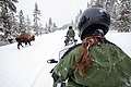 Passing a bison in the road on snowmobiles (54658551-39bf-48dc-9680-1ef2fc12d415).jpg
