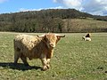 Pasture, woodland and Highland cattle, Cadmore End - geograph.org.uk - 743717.jpg