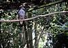 Patagioenas speciosa -Zooparque Itatiba, Sao Paulo State, Brazil -adult-8a.jpg