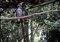 Patagioenas speciosa -Zooparque Itatiba, Sao Paulo State, Brazil -adult-8a