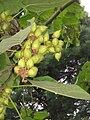 Paulownia fruits.jpg