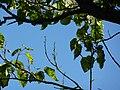 "Paulownia tomentosa ""Foxglove tree"" (Paulowniaceae) (leaves).JPG"