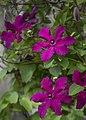 Pea Patch Purple (216579855).jpeg
