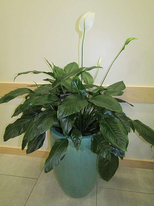 Peace lily (35022572422)