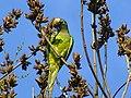 Peach-fronted Parakeet (Aratinga aurea)-4.jpg