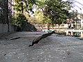 Peacock in Siddhartha Garden and Zoo.jpg