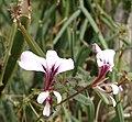 Pelargonium tetragonum.jpg