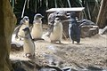 Penguins at WILD LIFE Sydney Zoo, Australia (Ank Kumar) 01.jpg