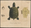 Pentonyx gehafi - 1700-1880 - Print - Iconographia Zoologica - Special Collections University of Amsterdam - UBA01 IZ11600147.tif
