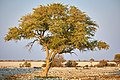 Perching bird tree at waterhole in Okaukuejo Etosha Namibia.jpg