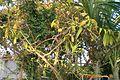 Pereskia grandifolia001.JPG