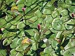 Persicaria amphibia flowers (Attikamek Trail) 2.JPG