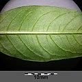 Persicaria hydropiper sl16.jpg