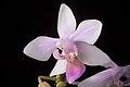 Phalaenopsis equestris (Mindanao, Philippines) (Schauer) Rchb.f., Linnaea 22- 864 (1850) (35301329242).jpg