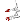 Phalanges of the foot07a inferior view.png