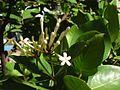 Phaleria disperma.jpg