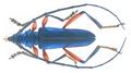 Philematium virens ssp. transversale Kolbe, 1900 Male (33271870160).png