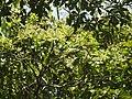 Phoebe cooperiana flowering tree DSCN9584.jpg