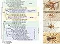 Pholcidae (10.3897-zookeys.789.22781) Figure 2.jpg