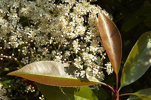 Photinia fraseri flowering