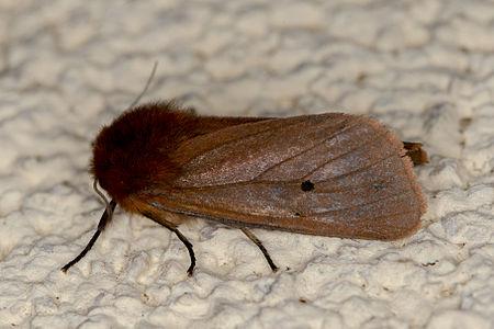 Phragmatobia fuliginosa, Lodz(Poland)01(js).jpg