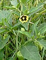 Physalis heterophylla Clammy Ground Cherry flower and leaves 3x4.jpg