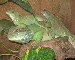 Physignathus cocincinus trio batch.jpg