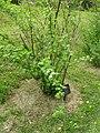 Physocarpus capitatus3.JPG