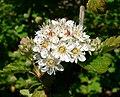 Physocarpus monogynus 2.jpg