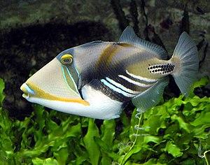 Triggerfish - Rhinecanthus aculeatus