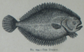 Picture Natural History - No 194 - The Turbot.png