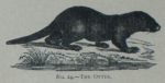 Picture Natural History - No 24 - The Otter.png