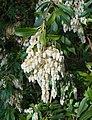 Pieris japonica 2015-04-16 502 (cropped).jpg