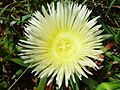 Pigface flower.jpg